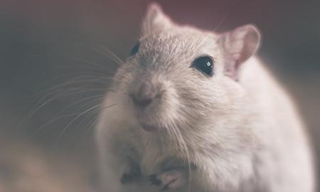 Dératisation_Rat_Rongeurs